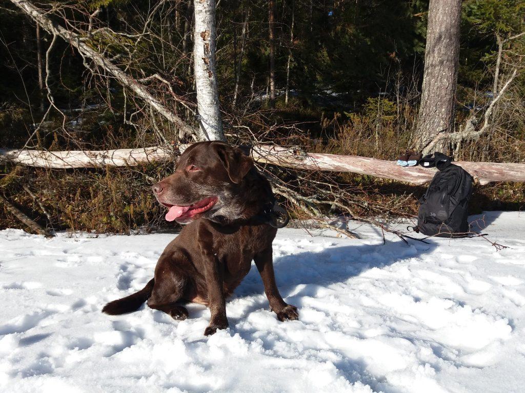 koiran kipu koiran kipumittari hcpi