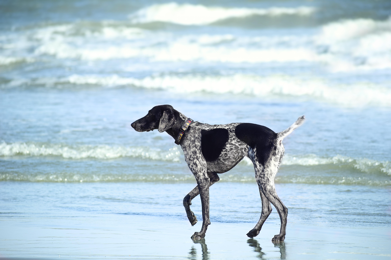 Mitä rokotuksia ja lääkityksiä tarvitaan koiran kanssa matkustamiseen Pohjoismaissa?