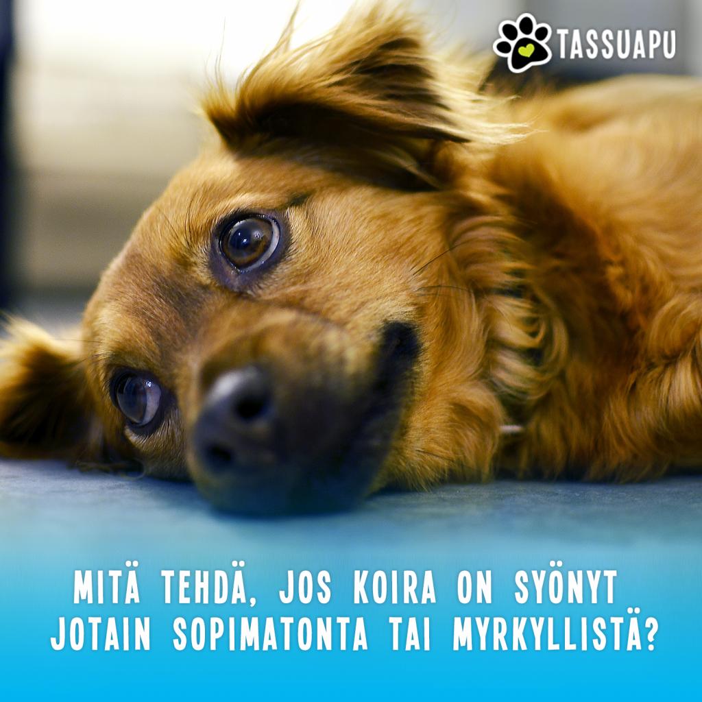 koiran myrkytyksen oireet ja hoito