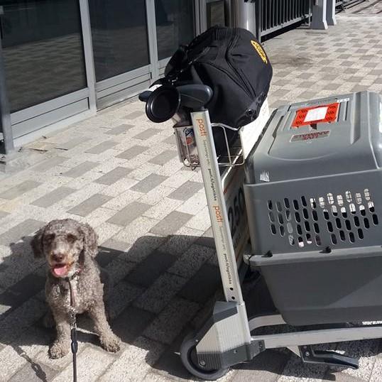 Cara-koira istuu lentokentällä kuljetuslaatikkonsa vierellä