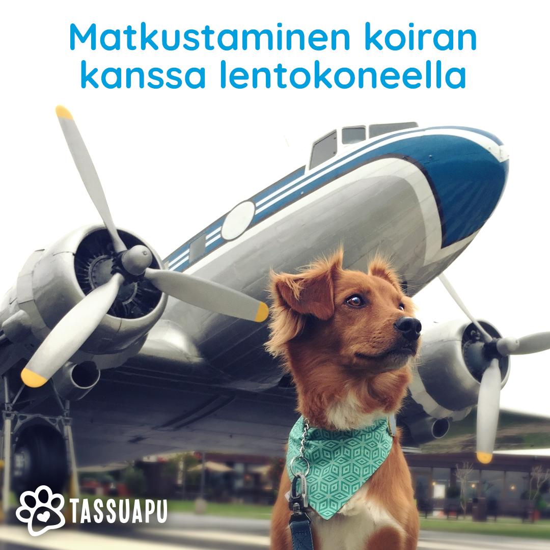 Matkustaminen koiran kanssa lentokoneella. Koira tähyilee valppaana taustallaan lentokone.