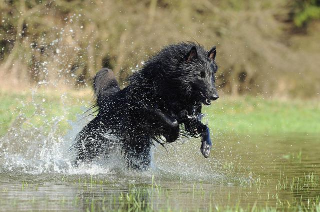 Koiran Viilennys