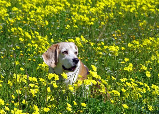 Koira pötköttää kukkakedolla.