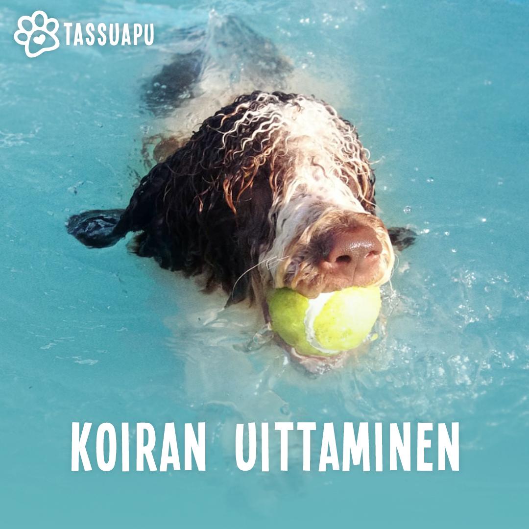 Koira ui tennispallo suussa.
