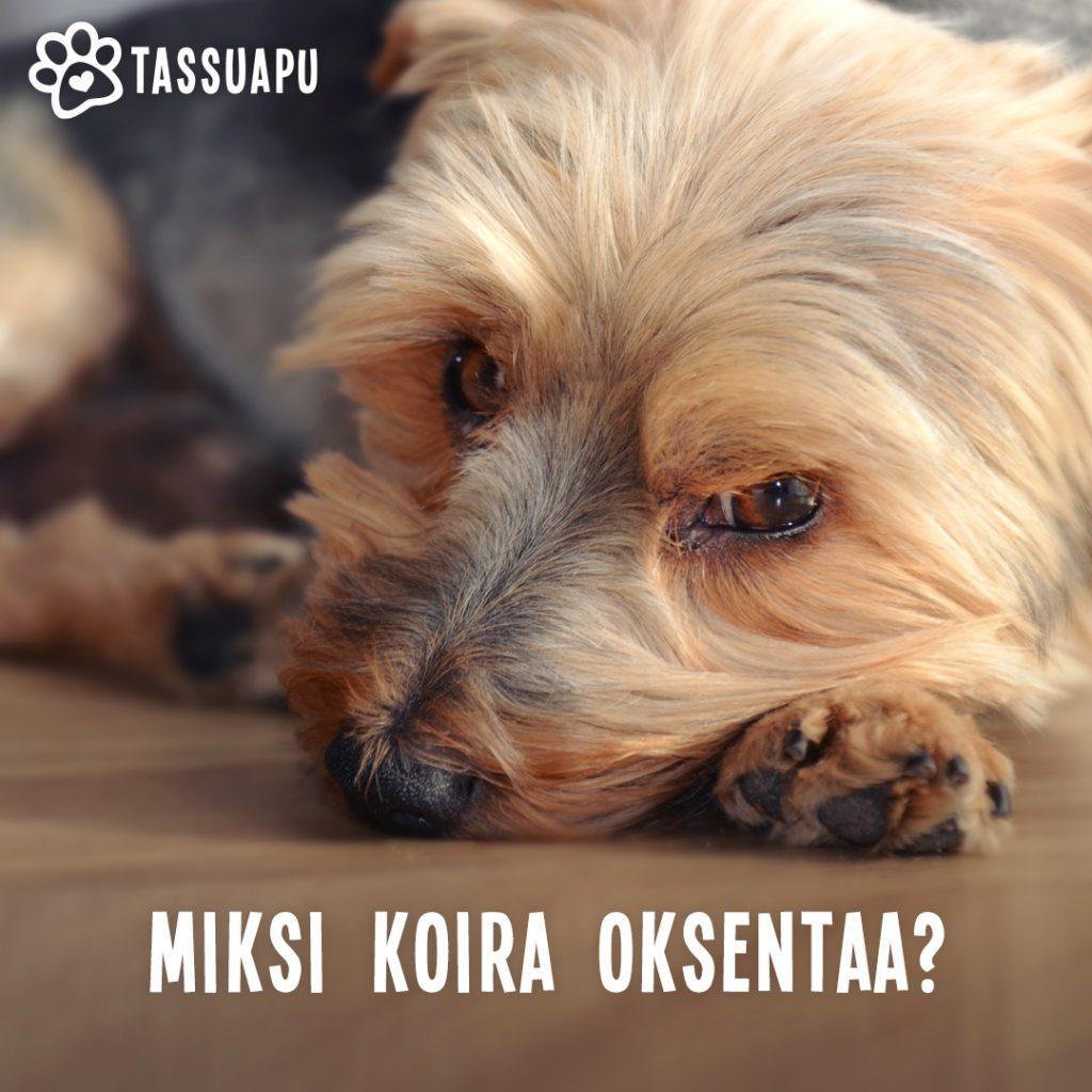 koira oksentaa - mahdollisia syitä oksenteluun