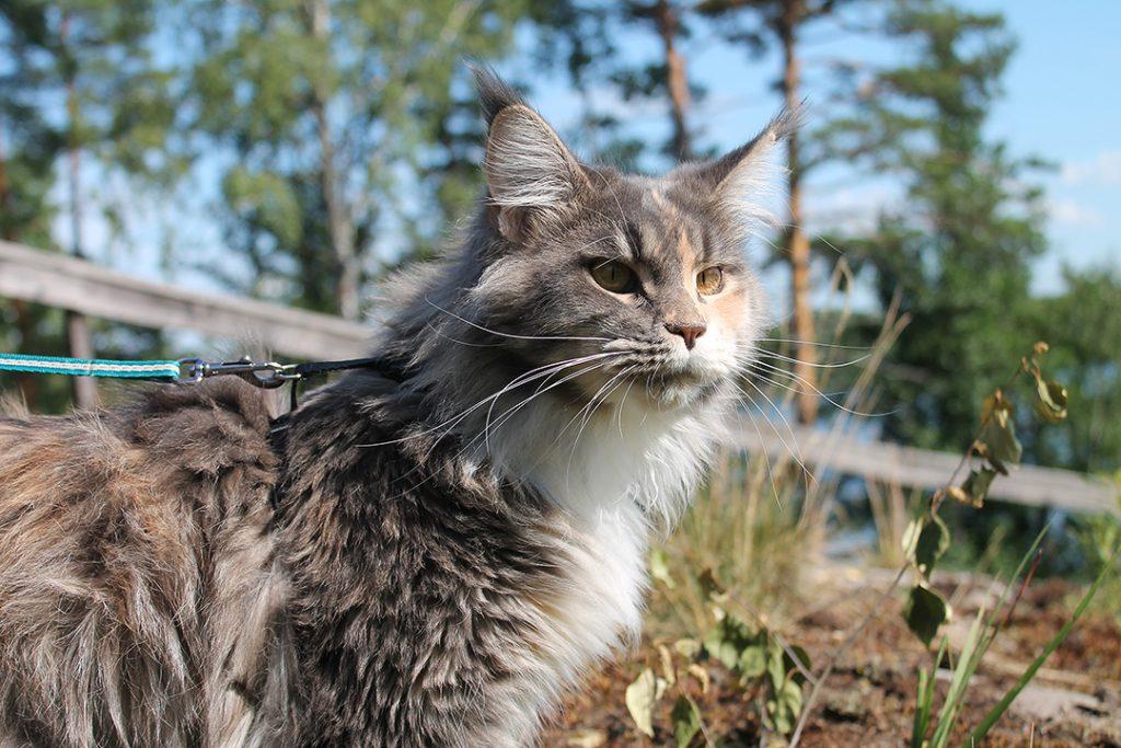 Kissa ulkoilee luonnossa valjaat päällä.