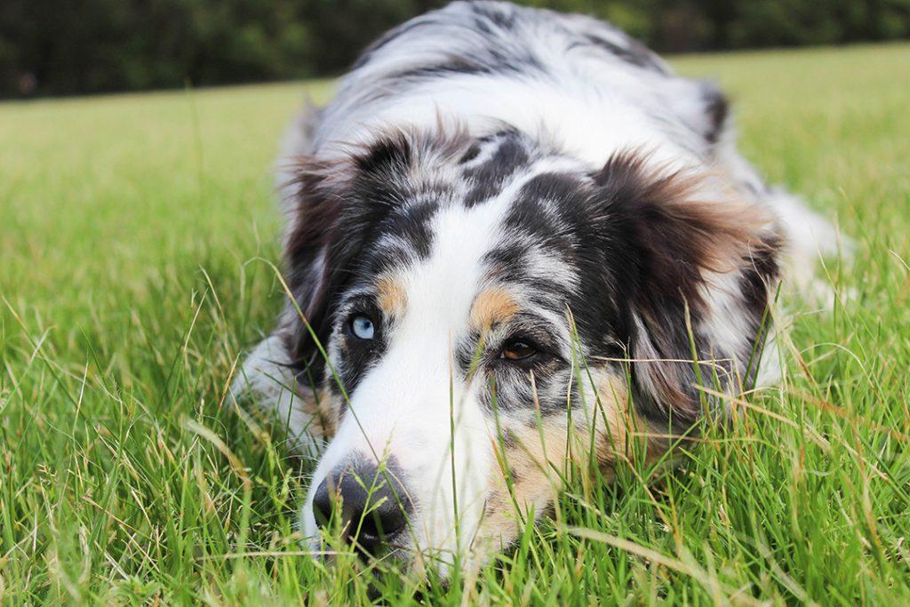 koiran kastrointi