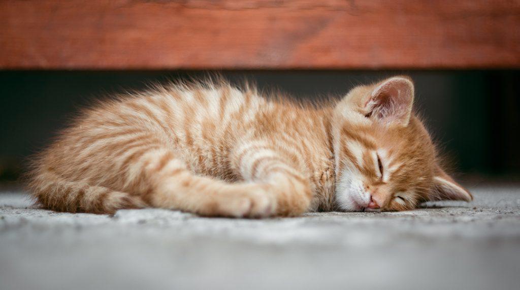 giardia kissa