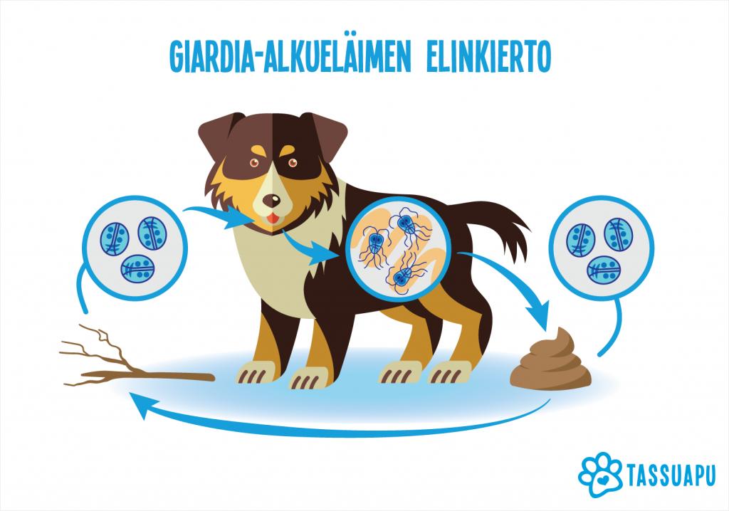 Giardia-alkueläimen elinkierto kuvattuna piirroksena