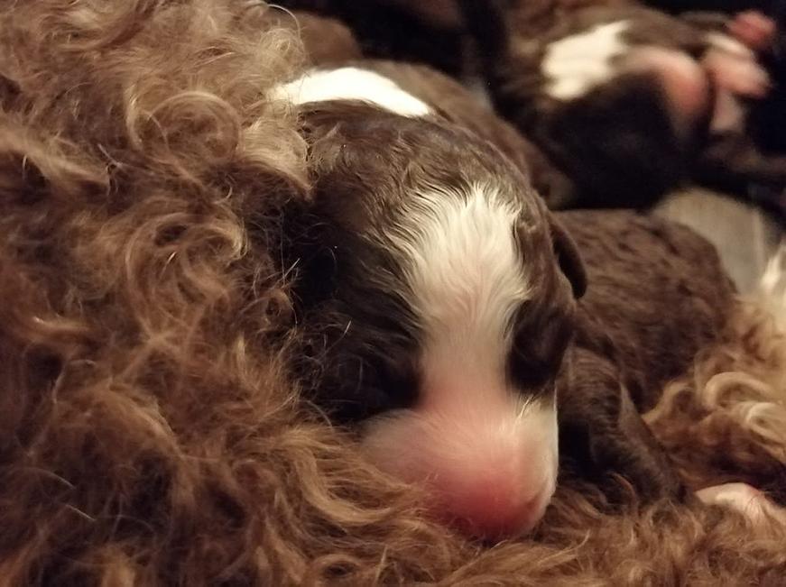 koiran synnytys 4. pentu