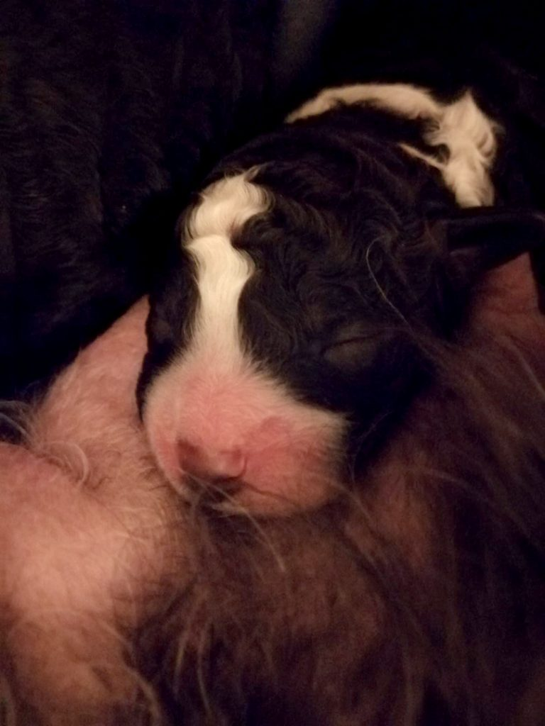koiran synnytys 5. pentu