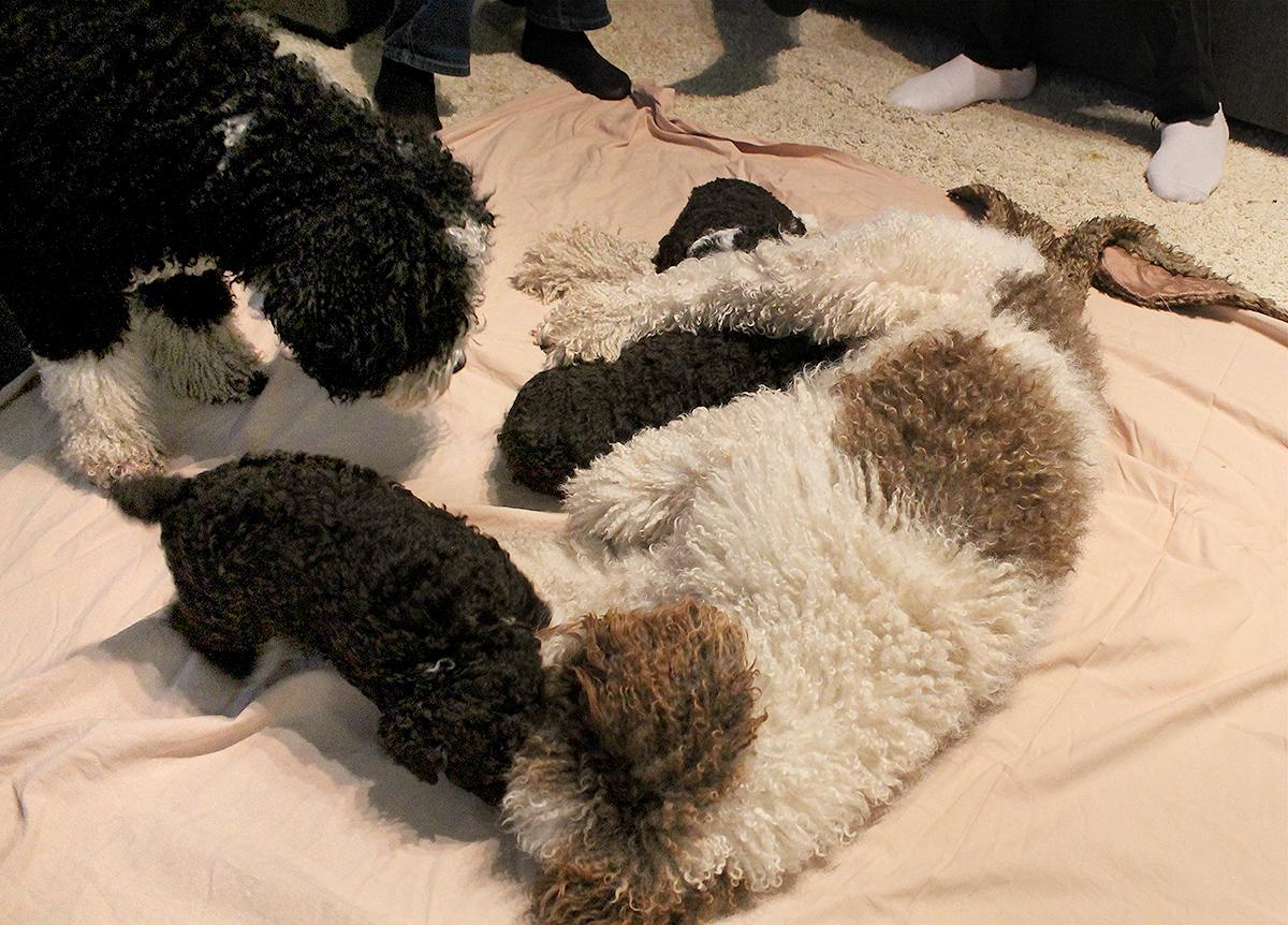 koiranpennun kehitys - nanan pennut pietan hoivassa