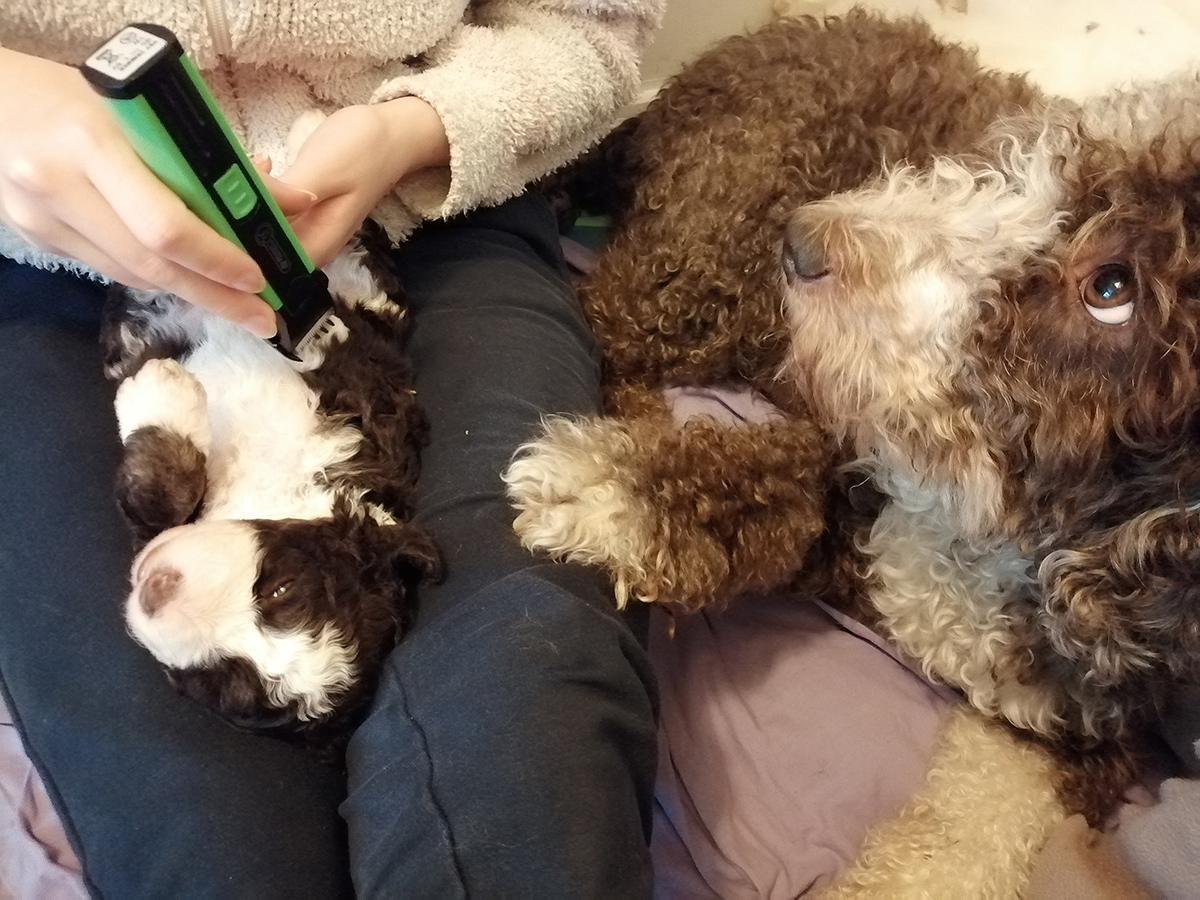 koiranpennun kehitys pennun trimmausharjoitus