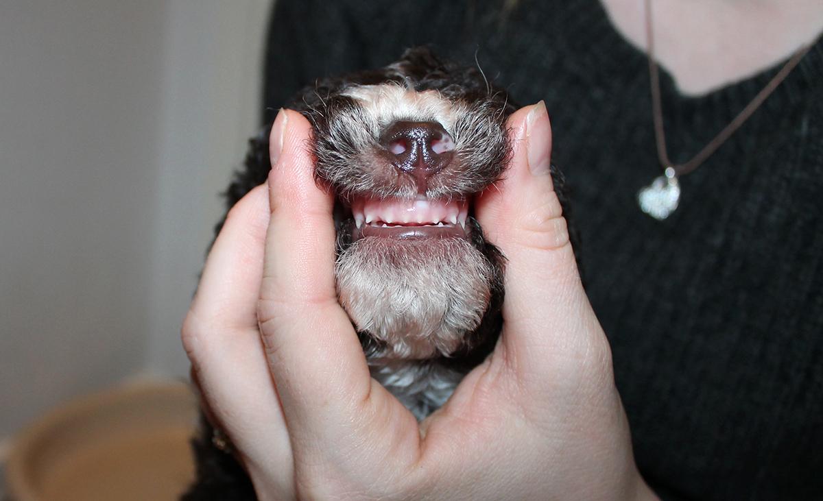 koiranpennun hoito hampaiden harjaus