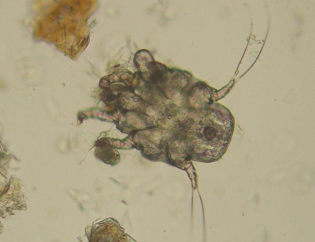 Kissan korvapunkki: mikroskooppikuva