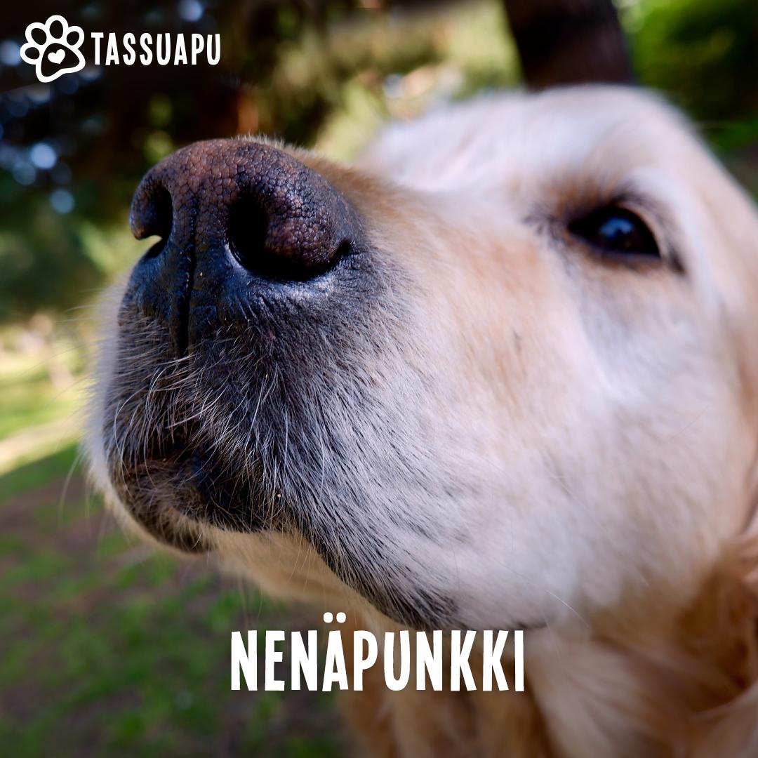 koiran nenäpunkki