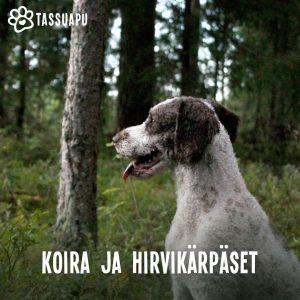 hirvikärpänen koirassa ja hirvikärpäsen purema koiralla