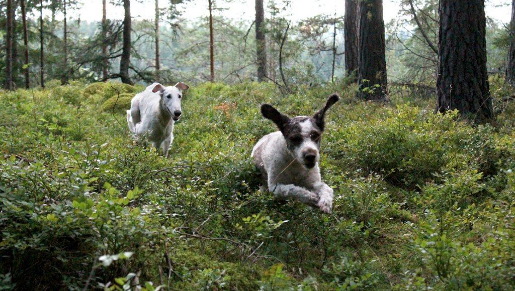 hirvikärpänen koirassa metsässä