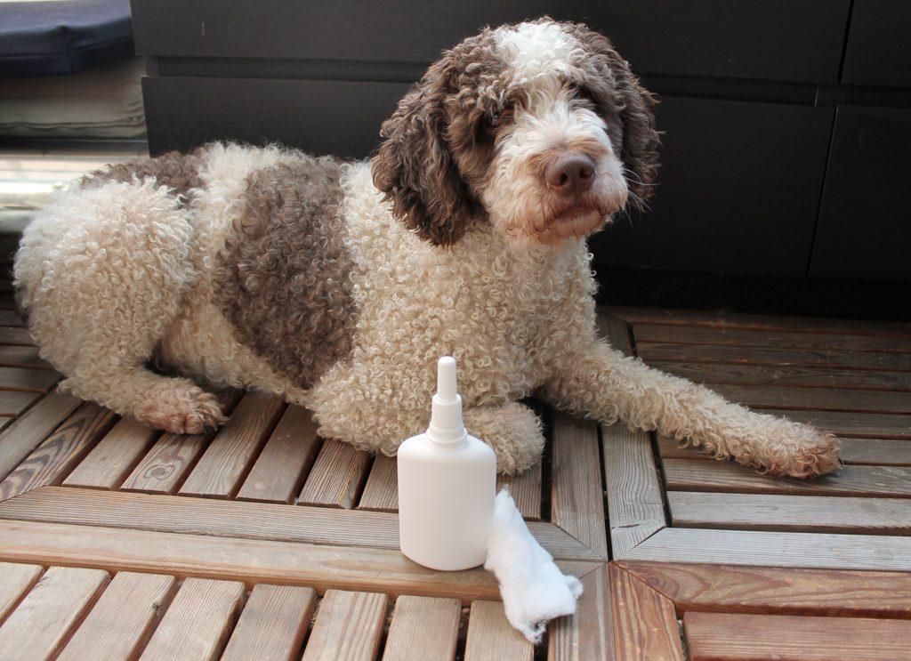 koiran korvatulehdus korvan puhdistus