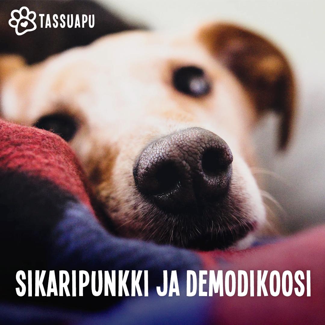 koiran sikaripunkki