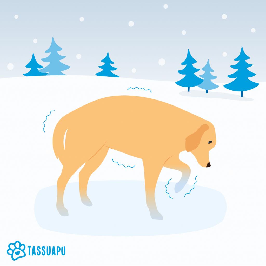 Koira pakkanen: mistä tunnistaa, että koira palelee?