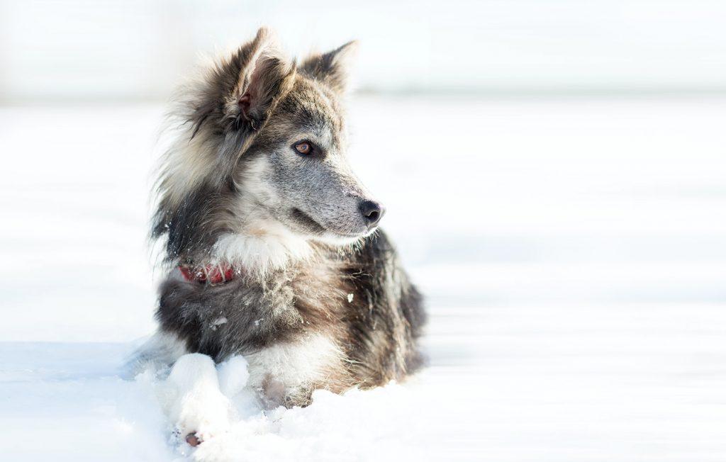 koiran alilämpöisyys eläinlääkäriin