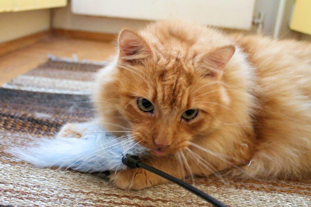 kissan aktivointi aktivointilelulla kuten höyhenhuiskulla