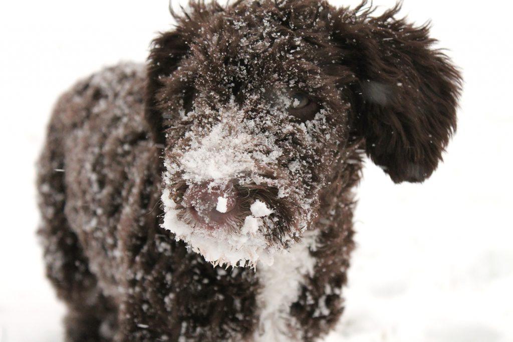 koiran paleltuma oireet