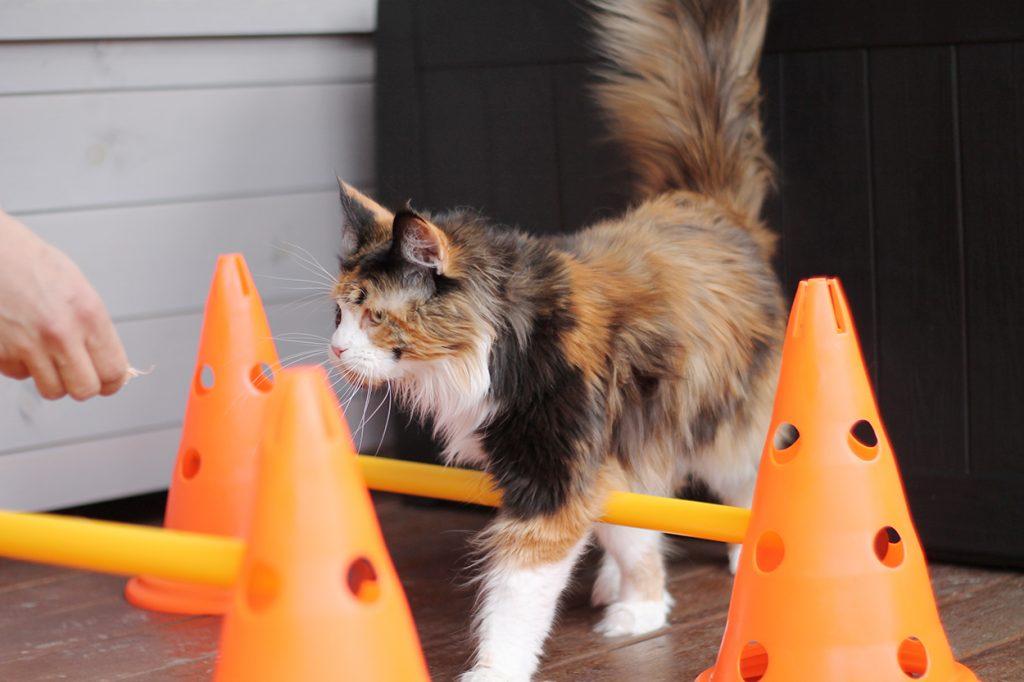 Kissan koulutus cavaletti-esteiden avulla: kissa kävelee cavaletti-esteiden yli.