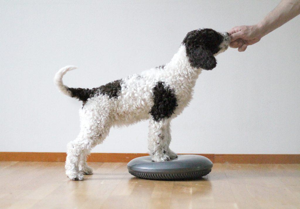 Koiranpentu seisoo etutassut jumppatyynyllä ja kurkottaa eteenpäin kohti ihmisen kättä.