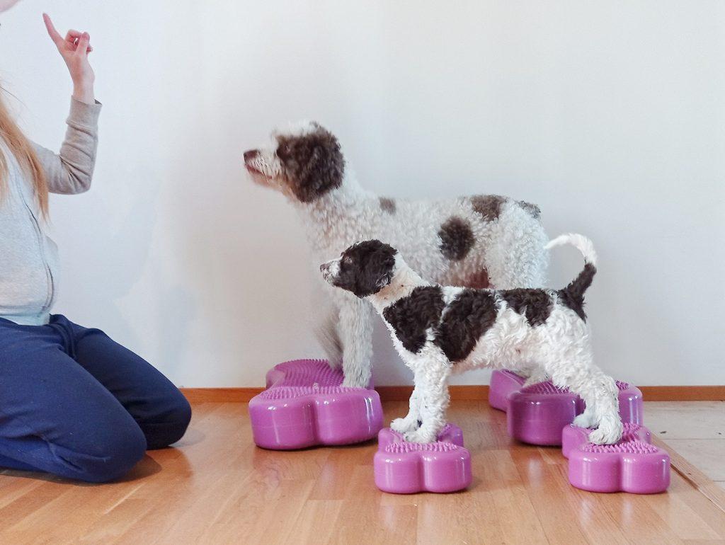 Koiranpentu seisoo etutassut yhdellä jumppatyynyllä ja takatassut toisella.