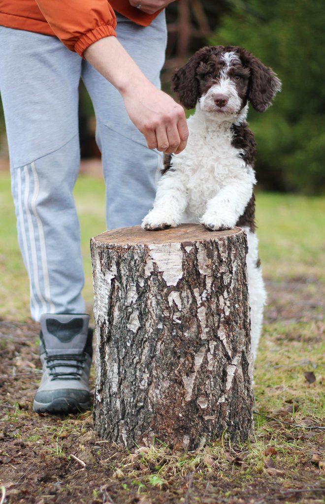 Koiranpentu seisoo kannon takana, etutassut kannon päällä.