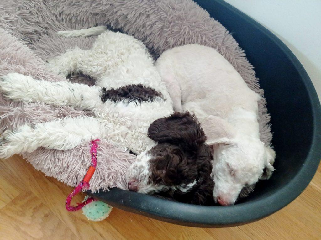 Kaksi koiraa nukkuu vierekkäin.