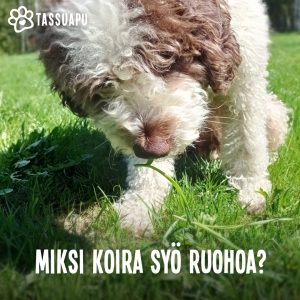 koira syö ruohoa nurmikolla