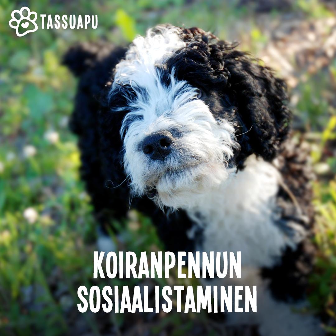 koiranpennun sosiaalistaminen